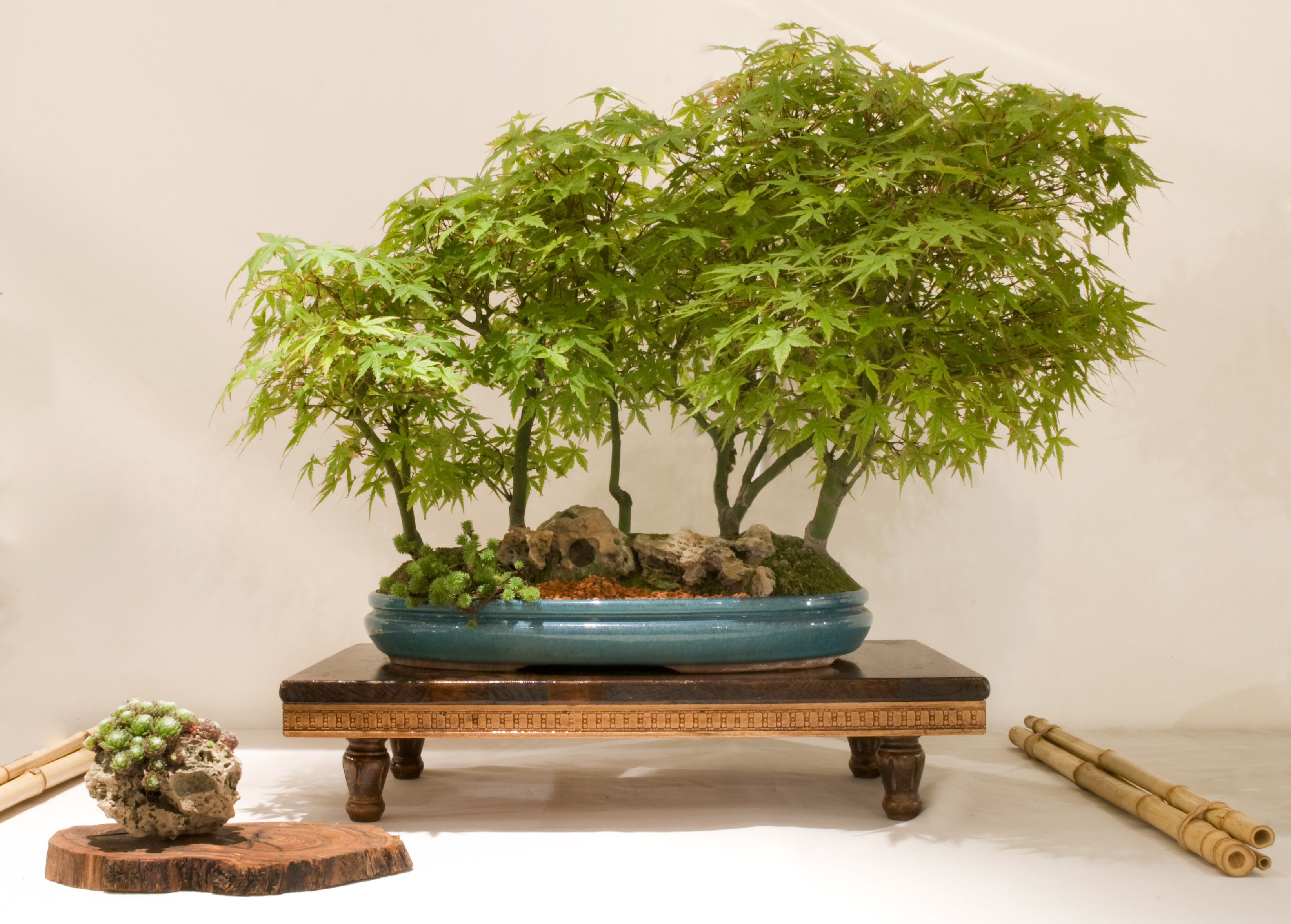 Exposici n de bonsais en barcelona este fin de semana en - Libros de bonsais ...